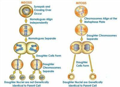 Mitosis pada Organisme Multiseluler