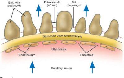 Permeabilitas Glomerulus