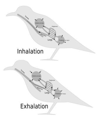 ihalasi dan ekshalasi pada burung