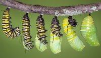 larva kupu-kupu