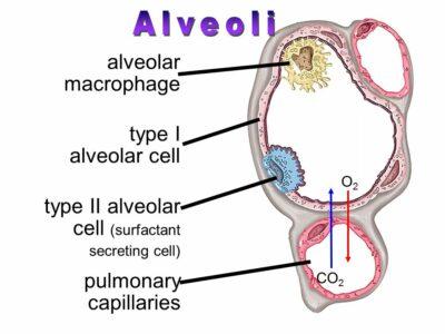 sel alveoli