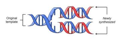 Molekul DNA SemiKonservatif