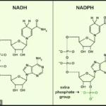 Nikotinamida adenin dinukleotida fosfat