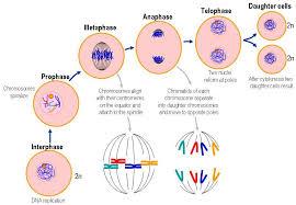 Sebutkan 7 Ciri Ciri Pembelahan Mitosis Pengertian Tahapan Biologi Sridianti Com
